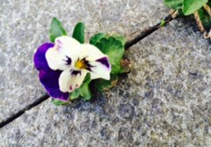 THE TENACITY OF A PANSY